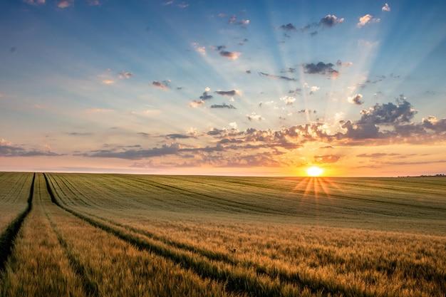 Campo di grano con cielo azzurro con sole e nuvole sullo sfondo, landspace