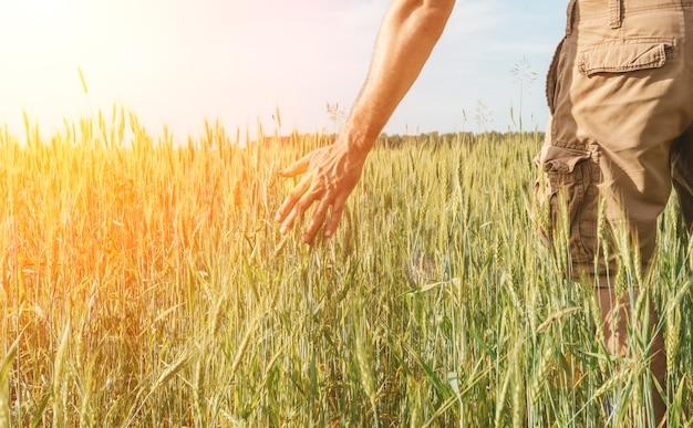Campo di grano con un contadino che tiene in mano spighe di segale. raccolto di grano su un campo soleggiato di estate. agricoltura, allevamento e coltivazione di alimenti bio ecologici. foto di alta qualità