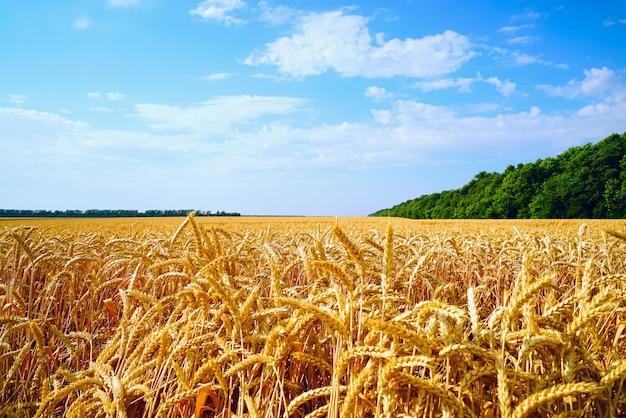 Campo di grano con orecchie d'oro contro il cielo blu.