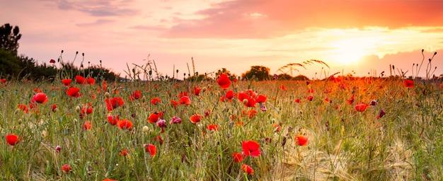 Campo di grano con papaveri e paesaggio al tramonto. splendida vista estiva nella natura con fiori selvatici