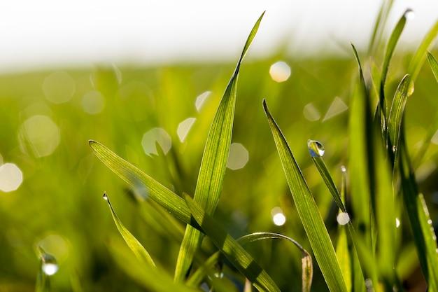 Goccia di rugiada sottile verde germe di grano, da vicino