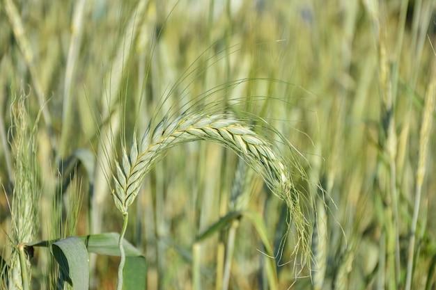 Gambo di grano da vicino, raccolto da vicino