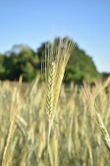 Lo stelo di grano da vicino, il raccolto da vicino
