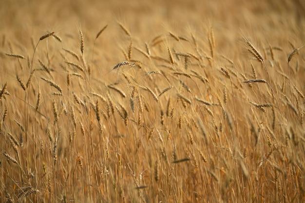Gambi di grano nel campo, primo piano del grano, agricoltura