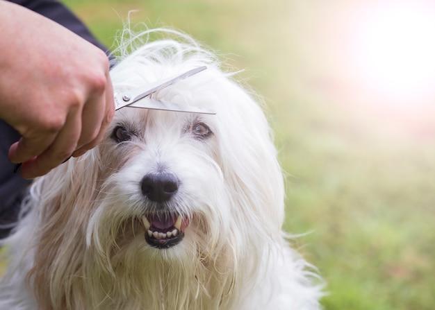 Un terrier di grano che si taglia i capelli per rimuovere i capelli dagli occhi