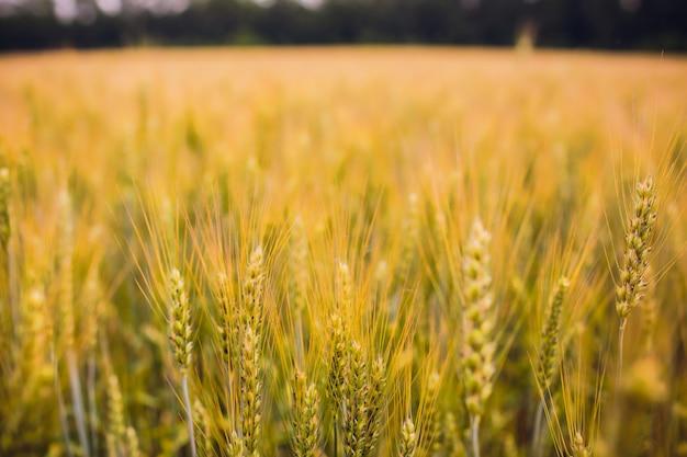 Grano su uno sfondo bianco. raccolto di grano.