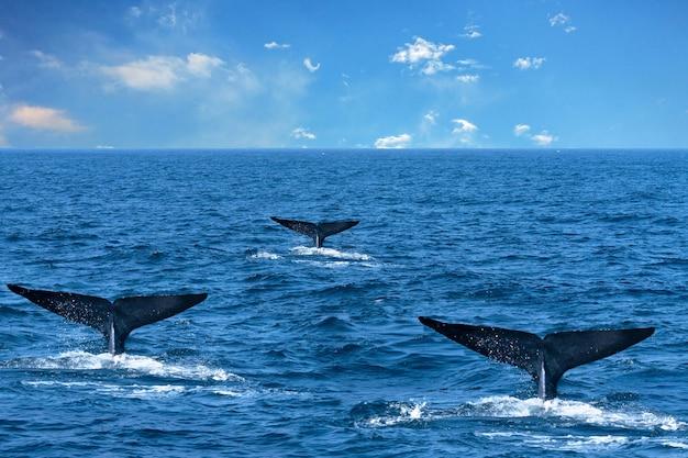 Mentre tre code nell'acqua dell'oceano, sri lanka