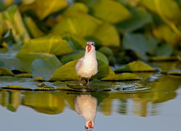 Whiskered tern (chlidonias hybrida) pulcino sorge sulle foglie delle piante acquatiche nella morbida luce del mattino