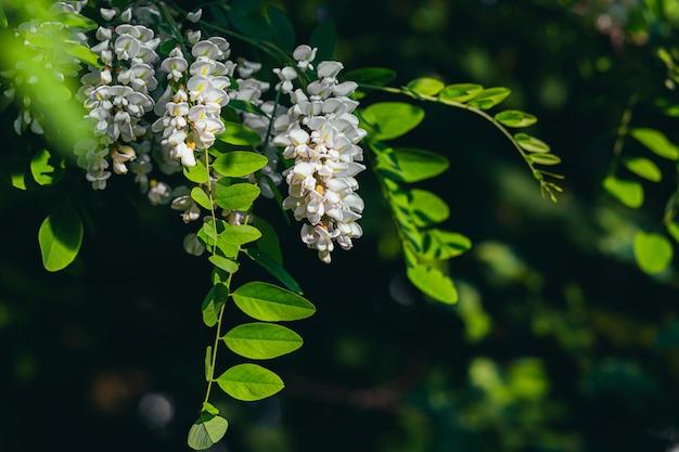 Fiore di acacia bianco su uno sfondo di foglie verdi