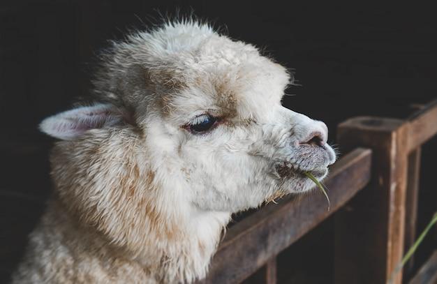 Alpaca bianca nelle scuderie dell'azienda agricola con scarsa illuminazione interna