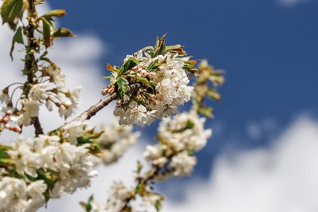 Fiori bianchi del fiore di melo che sbocciano in primavera, tempo di pasqua contro un cielo blu. messa a fuoco selettiva.,