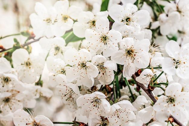 Fiori bianchi del fiore di melo che sbocciano in primavera, tempo di pasqua contro uno sfondo naturale del giardino sfocato. avvicinamento. messa a fuoco selettiva..