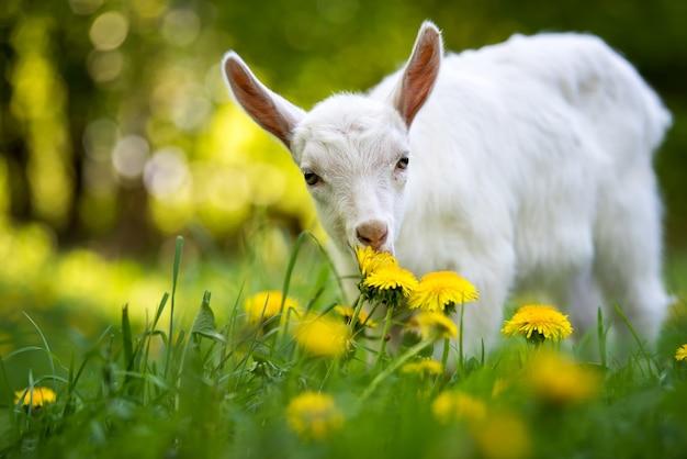 Capretto bianco in piedi sull'erba verde con fiori gialli