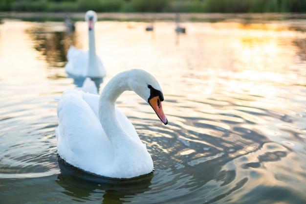 Bellissimi cigni bianchi che nuotano sull'acqua del lago in estate.