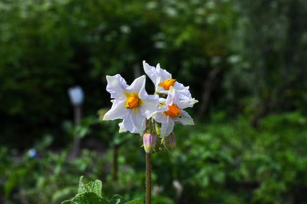 Fiori di fioritura bianchi della patata nel campo