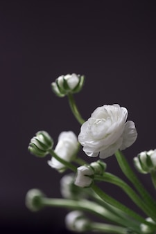 Fioriture bianche del fiore del ranuncolo sulla natura morta scura dei fiori che sbocciano delicati.