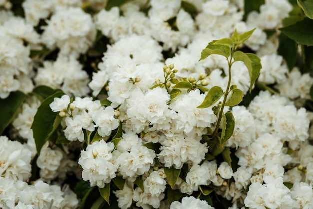Sfondo di cespuglio di fiori sboccianti bianchi, carta da parati.