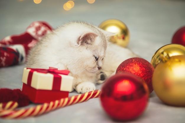 Il gattino britannico bianco sta giocando su una coperta con accessori natalizi: lecca-lecca, calze, regali, palle di natale. atmosfera festosa. aspettando la vacanza.