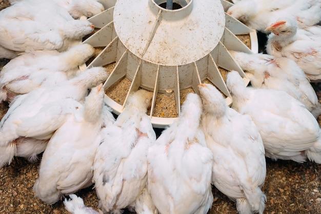 Pollo da carne bianco all'allevamento di pollame.