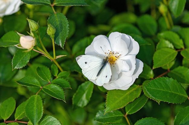 Farfalla bianca pieris napi su rosa da giardino bianca spinnaker amorina flower