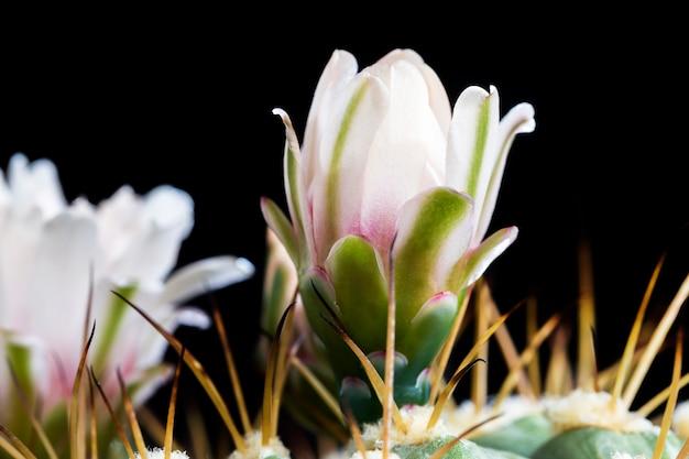 Fiori di cactus bianchi durante la fioritura, vecchia pianta con spine taglienti, primo piano