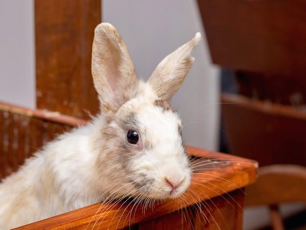 Il coniglio bianco californiano si siede su una piattaforma di legno