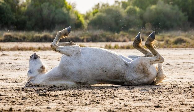 Il cavallo bianco della camargue è sdraiato sulla schiena a terra