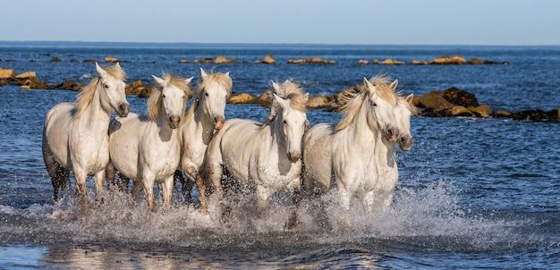 Cavalli bianchi della camargue al galoppo lungo la spiaggia del mare