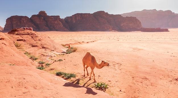 Il cammello bianco cammina nelle sabbie del deserto del wadi rum in giordania