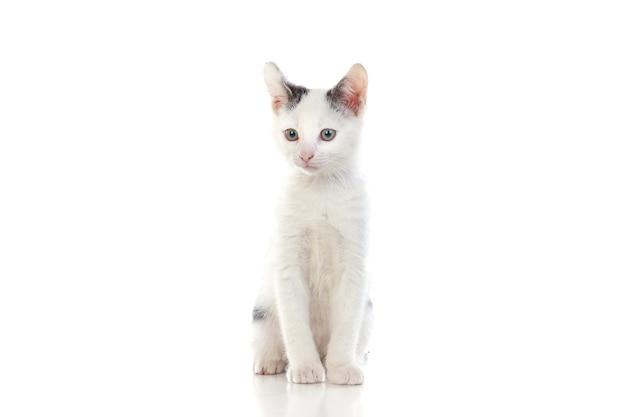 Gatto bianco isolato