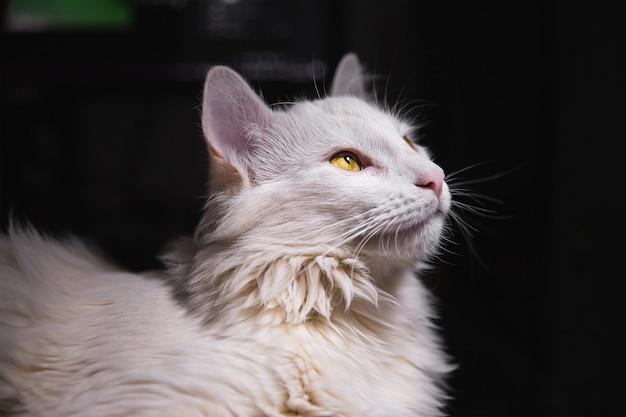 Gatto bianco che osserva in su con la pelle d'oca