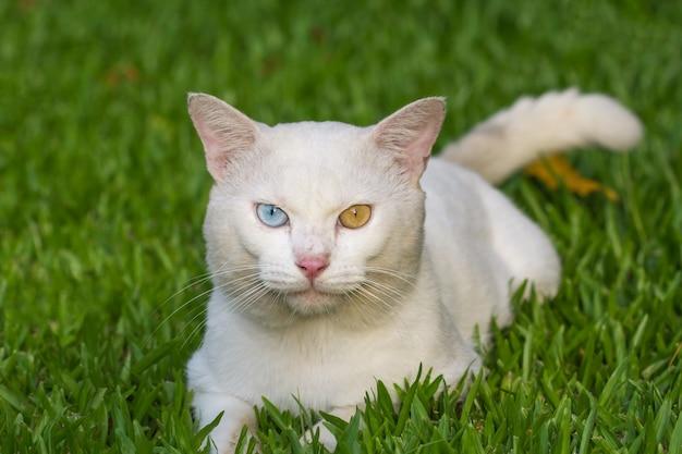 Un gatto bianco occhi strani, giallo e blu tozzo sul prato di erba verde