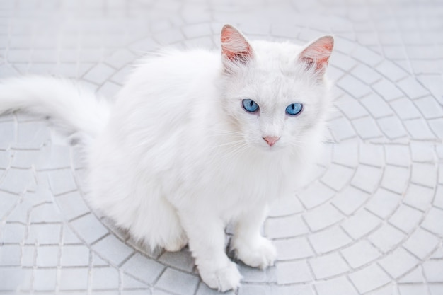 Gatto bianco con gli occhi azzurri. il gatto è seduto per strada sull'asfalto grigio