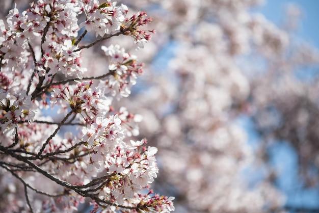 Fiore di ciliegio bianco o fiore di sakura in piena fioritura con bokeh sfocato floreale e sfondo azzurro del cielo in primavera intorno al castello di nagoya, giappone.
