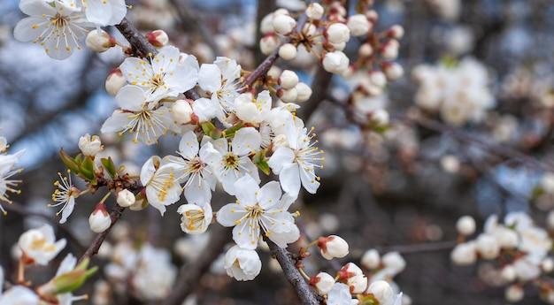 Fiori di ciliegio bianco sul ramoscello. fioritura ramo di ciliegio. isolato su sfondo bianco senza ombra. spray alla ciliegia con fiori bianchi che sbocciano.