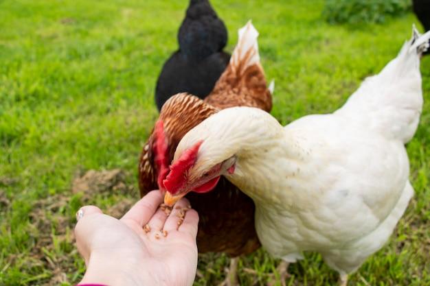Il pollo bianco mangia cibo grano a mano fattoria biologica uovo ecologico bio
