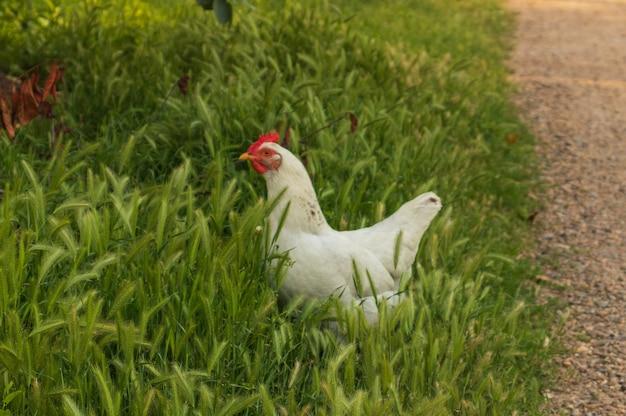 Un pollo bianco cammina per strada