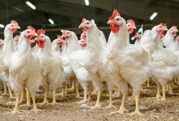 Fattoria di polli bianchi