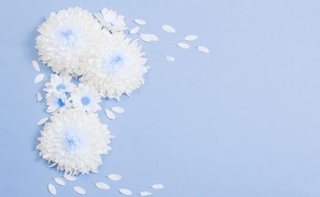 Crisantemo bianco su sfondo di carta blu