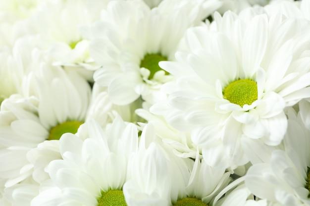 Crisantemi bianchi su tutto lo sfondo, da vicino.