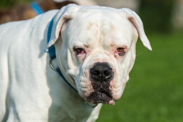 Ritratto del cane del bulldog americano del camice bianco nel cortile