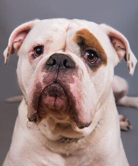 Colore bianco cappotto adulto bulldog americano vista frontale close up ritratto su sfondo grigio