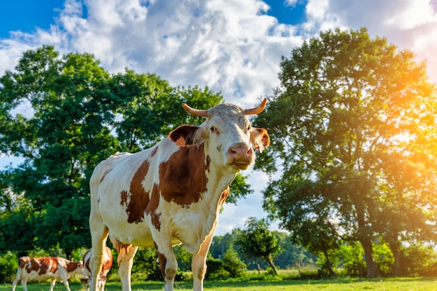 Mucca bianca al pascolo nei prati verdi dei pirenei in spagna