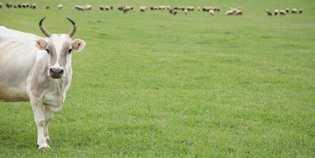 Mucca bianca su un campo verde