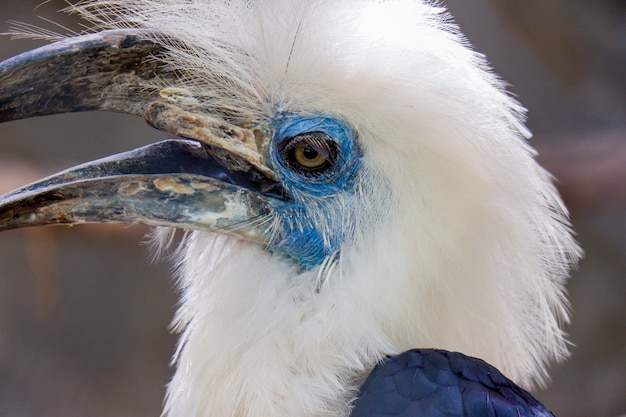 Uccello bucero coronato bianco
