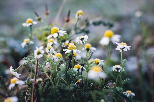 Margherite bianche ricoperte di brina. approssimazione dell'inverno