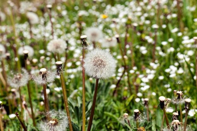 Fiori di tarassaco bianco sul campo con erba per l'alimentazione del bestiame, primo piano in primavera o all'inizio dell'estate