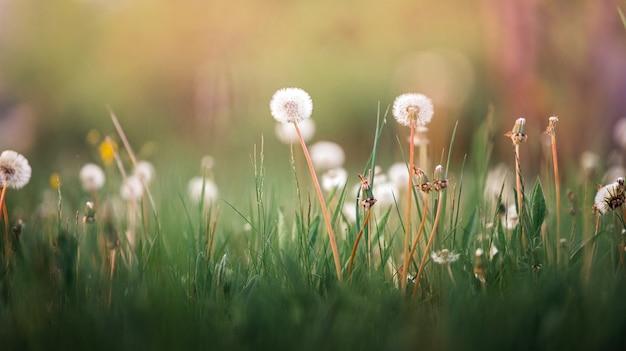 Fiori di tarassaco bianco su un prato in natura estate sotto i raggi del sole al tramonto