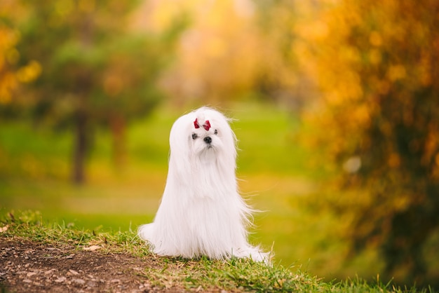 Cagnolino maltese della razza del cane bianco nella foresta di autunno