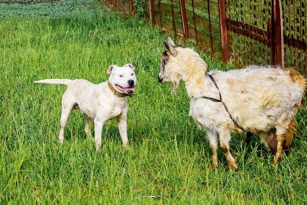 Il pitbull della razza del cane bianco protegge la capra sul pascolo_
